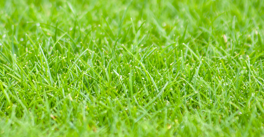 Ryegrass mixture offers improved fineness of leaf