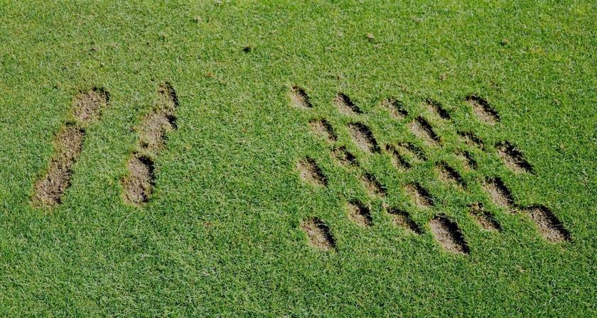 Creeping ryegrass cultivar brings benefits