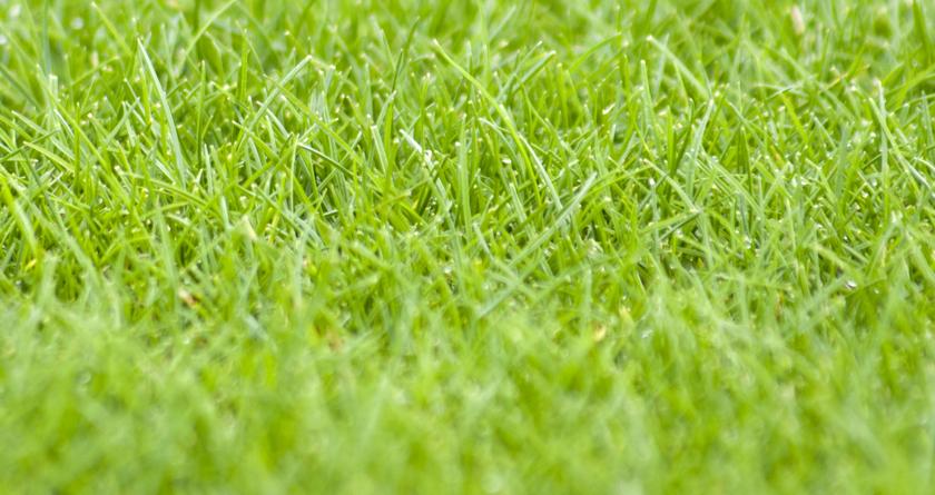 Cabrio Ultra Fine Ryegrass: still fine under pressure