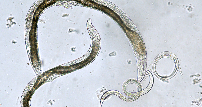 A new patented biocontrol 'kit' is now available for turf pests